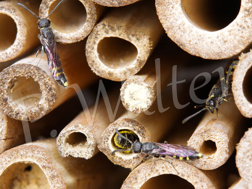21.05.2016 : Hahnenfuß-Scherenbiene, die gleich von drei Keulhornwespen umlagert ist