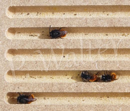 13.03.2021 : die meisten Männchen der Gehörnten Mauerbiene haben sich in Hohlräume vor dem stürmischen Wetter versteckt, so wie dies vier hier in das Beobachtungsnutbrett (8mm Durchmesser)
