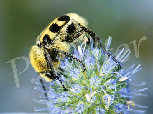 Bild: auch der Pinselkäfer findet sich auf den Blüten der blauen Kugeldistel ein