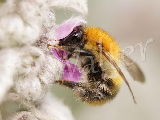 Bild: Ackerhummel, Bombus pascuorum, am Woll-Ziest