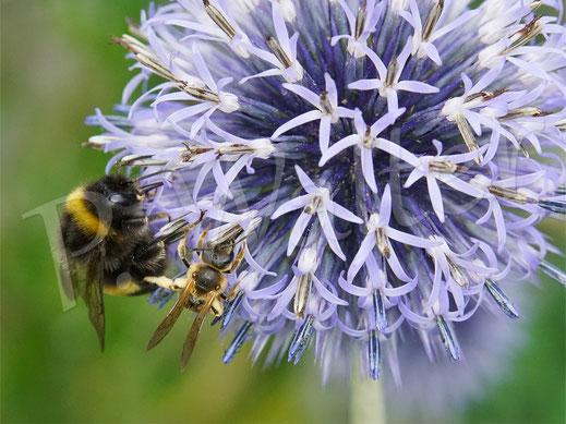 Bild: Gelbbindige Furchenbiene, Halictus scabiosae, und Erdhummel, Bombus terrestris, an der Kugeldistel, Echinops