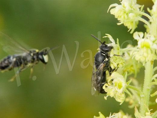 Bild: Resede-Maskenbiene, Hylaeus signatus, Gelbe Resede, Gelber Wau