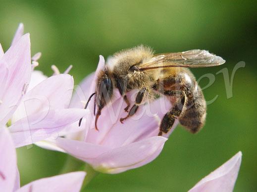 Bild: Honigbiene an einer Lauchblüte, Allium