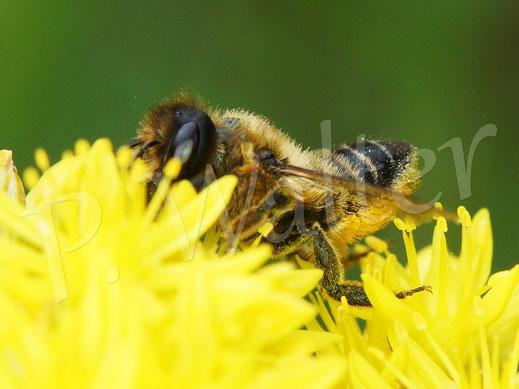 Bild: eine Blattschneiderbiene, Megachile spec., an der Felsen-Fetthenne