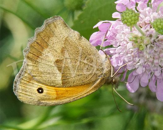 Bild: Kleines Wiesenvögelchen, Coenonympha pamphilus, Schmetterling, Tagfalter, Tauben-Skabiose