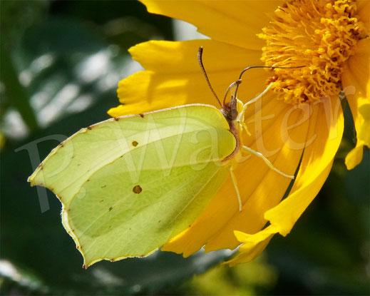 Bild: Zitronenfalter, Gonepteryx rhamni, Schmetterling, Tagfalter, am Mädchenauge