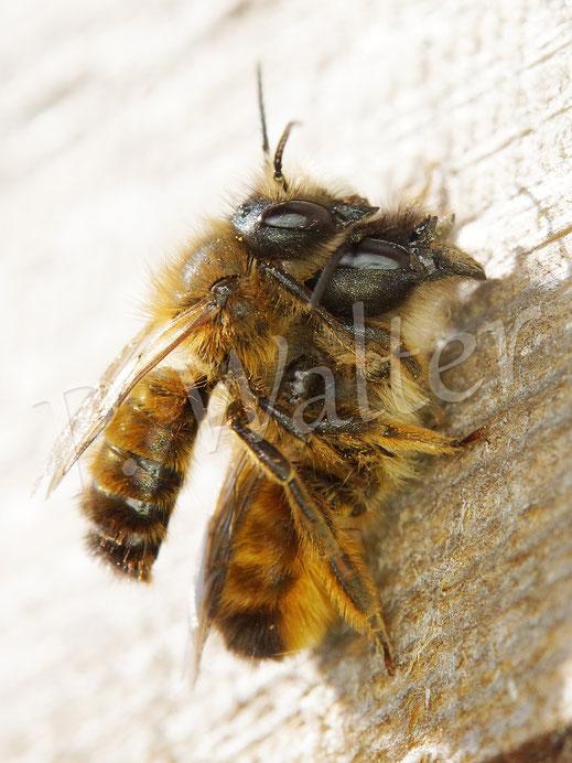 Bild: Pärchen, Paarung, Rostrote Mauerbiene, Osmia bicornis