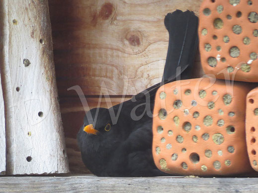Bild: Amsel sucht Regenschutz in der Insektennistwand, an den Tonsteinen erkennt man die ersten Spuren der Gehörnten Mauerbienenmännchen ...