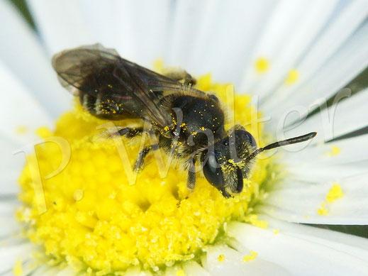 Bild: Wildbiene am Gänseblümchen