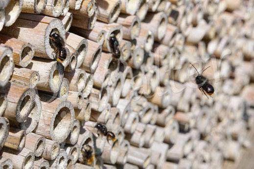 Bild: Männchen der Gehörnten Mauerbiene, Osmia cornuta