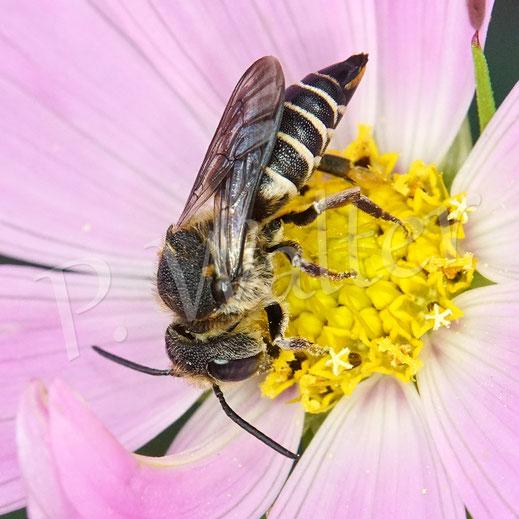 Bild: Kegelbiene, Coelioxys aurolimbata, Weibchen an einer Cosmee, Cosmea, Kosmee