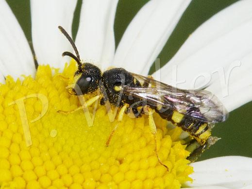 Bild: Cerceris rybyensis / Bienenjagende Knotenwespe, auf der Wiesen-Margerite