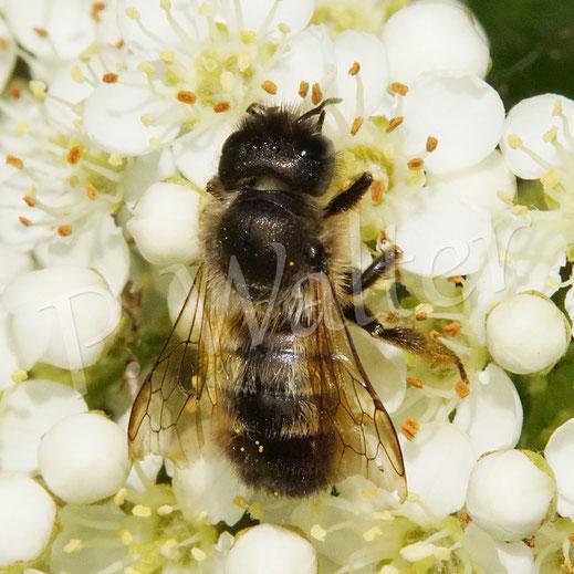 Bild: auch eine der wenigen noch fliegenden Rostroten Mauerbienenweibchen, Osmia bicornis, nutzt die Blüten des Feuerdorn