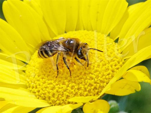 Bild: Seidenbienen-Männchen, Colletes spec., an der Färber-Hundskamille, Anthemis tinctoria