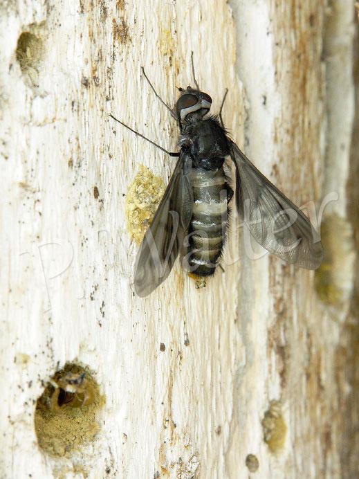 Bild: frisch geschlüpfter Trauerschweber, Anthrax anthrax, aus Mauerbienennistgang