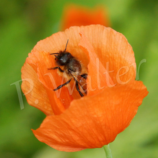Bild: Wildbiene am Mohn