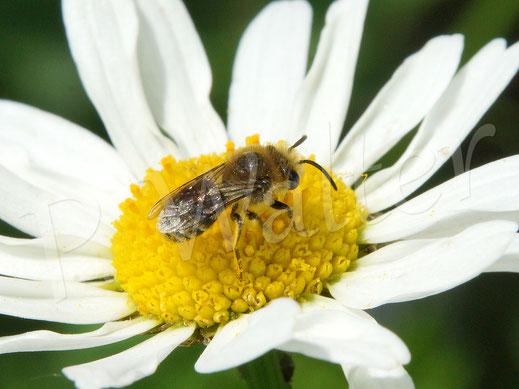 Bild: Seidenbiene, Colletes spec., an der Wiesenmargarite
