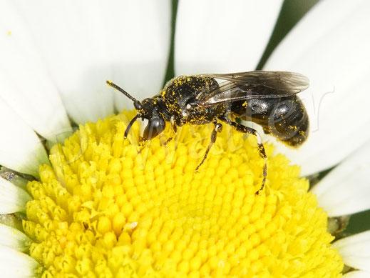 Rainfarn-Maskenbiene, Hylaeus nigritus, hier ein Männchen