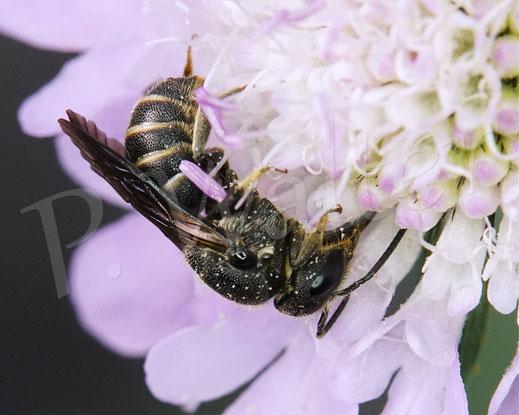 Bild: Punktierte Düsterbiene, Stelis punctulatissima, trinkt Nektar, Tauben-Skabiose, Scabiosa columbaria