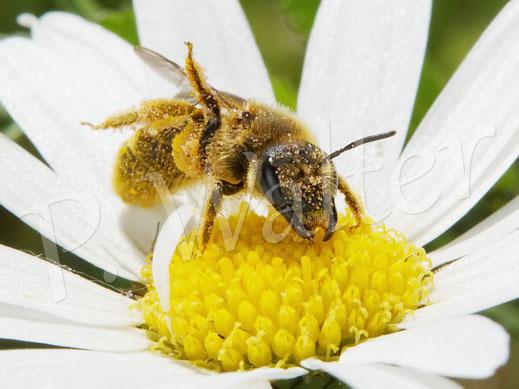 Bild: Gelbbindige Furchenbiene, Halictus scabiosae, an der Wiesen-Margerite