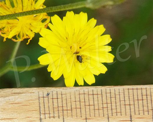 26.06.2021 : der Durchmesser der Blüte beträgt ungefähr 16 mm
