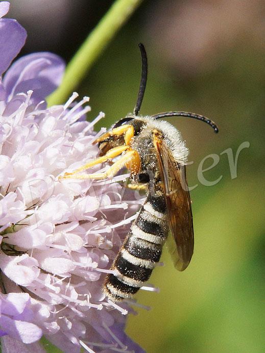 Bild: Sechsbindige Furchenbiene, Halictus sexcinctus, oder weiße Gelbbindige Furchenbiene, Halictus scabiosae, Männchen, Skabiosenblüte