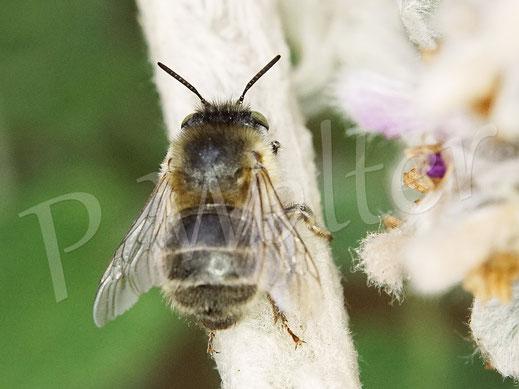 Bild: höchstwahrscheinlich die Vierfleck-Pelzbiene, Anthophora quadrimaculata