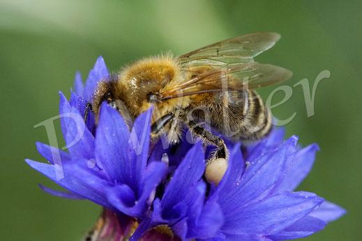 Bild: eine Honigbiene, Apis mellifera, an der Kornblume