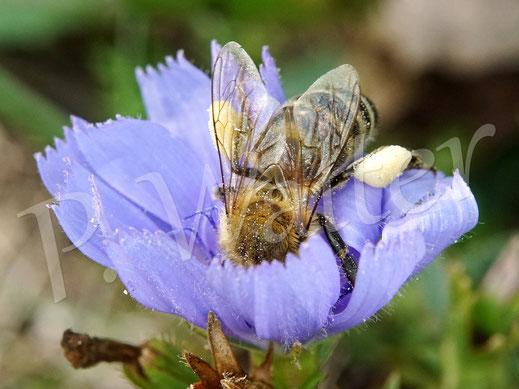 Bild: vollgepackte Honigbiene an der Wegwarte
