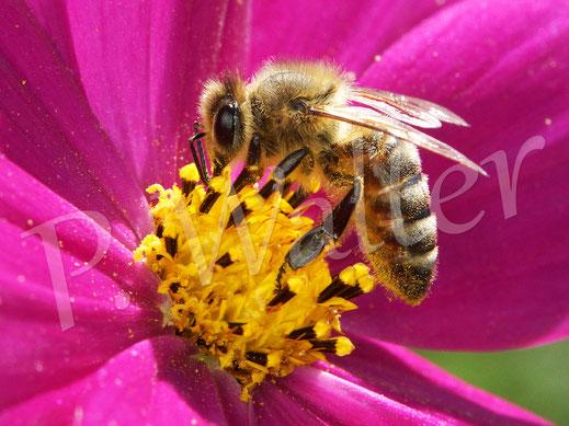 Bild: Honigbiene, Apis mellifera, an einer Cosmee