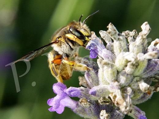 Bild: Garten-Wollbiene, Anthidium manicatum, Weibchen am Lavendel