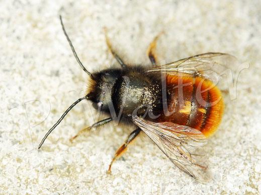 Bild: Männchen der Gehörnten Mauerbiene, Osmia cornuta, von oben