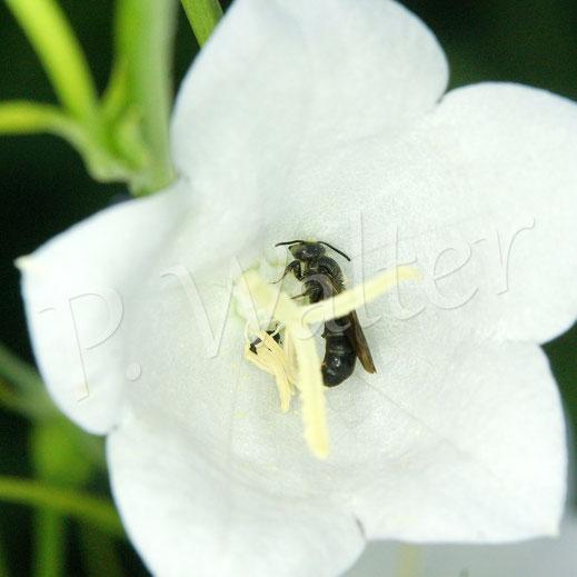 Bild: Glockenblumen-Scherenbiene, Osmia rapunculi