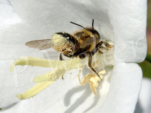Bild: Blattschneiderbiene, Megachile spec., an der Pfirsichblättrigen Glockenblume
