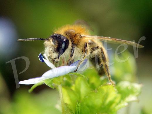 Bild: eine kleine Sandbiene, Andrena spec., an den Miniblüten des Gamander-Ehrenpreises