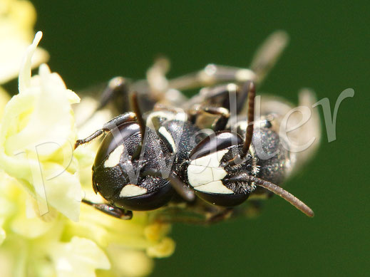 Maskenbiene an Resede, wohl Hylaeus signatus