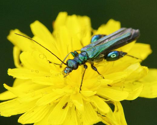 28.05.2016 : Blaugrüner Schenkelkäfer, Weibchen