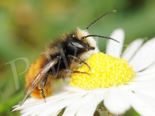 Bild: Männchen der Gehörnten Mauerbiene, Osmia cornuta, am Gänseblümchen