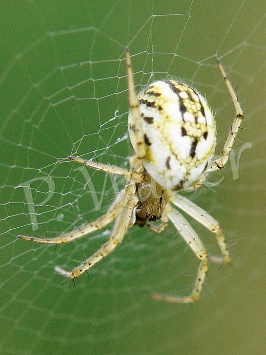 01.06.2018 : Spinne in ihrem Radnetz