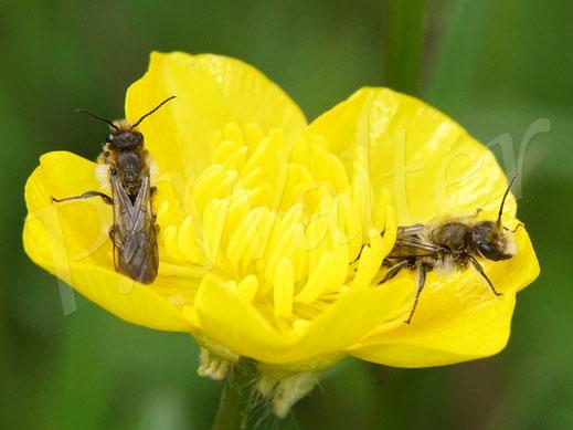 Bild: zwei Hahnenfuß-Scherenbienen-Männchen, Osmia florisomnis,  am Hahnenfuß