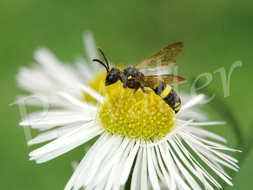 Bild: wohl die Bienenjagende Knotenwespe, Cerceris rybiensis, am Einjährigen Berufkraut