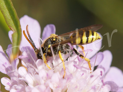 01.09.2018 : eine Wespenbiene, eine parasitierende Wildbiene (Kuckucksbiene) an der Skabiose