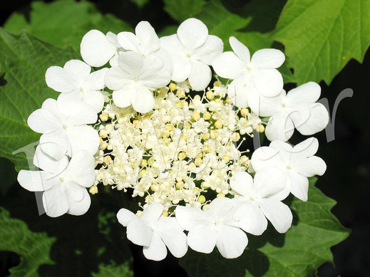 20.05.2012 : Blüten des Gemeinen Schneeball