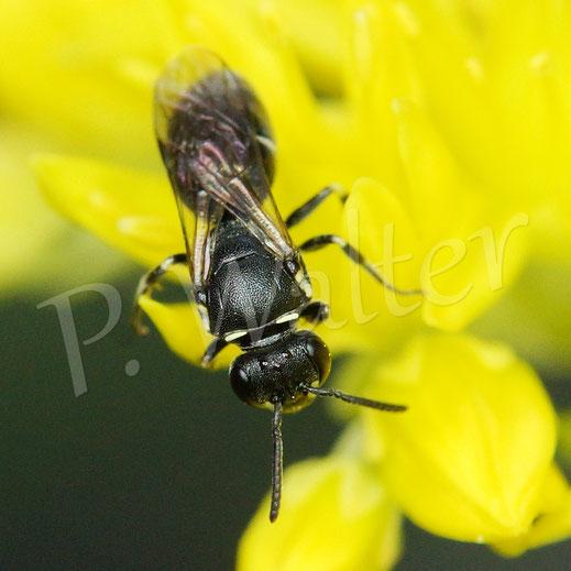 Bild: eine Maskenbiene, Hylaeus spec., an den Blüten der Felsenfetthenne
