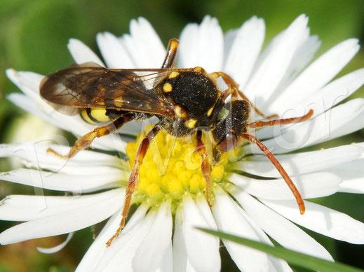 Bild: Wespenbiene, Nomada spec.,  am Gänseblümchen