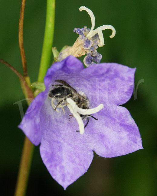 Bild: Glockenblumen-Sägehornbiene, Melitta haemorrhoidalis, schlafbereit in der Glockenblumenblüte