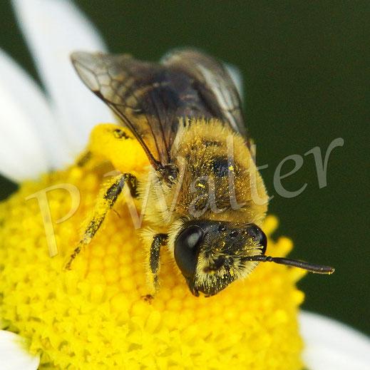 Bild: ein Seidenbienen-Weibchen, Colletes spec., an einer Kamillenblüte