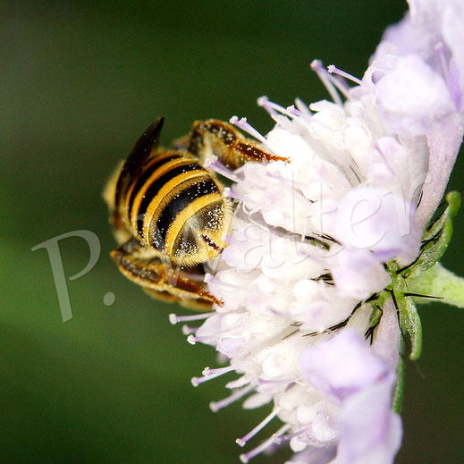 Bild: Weibchen, Gelbbindige Furchenbiene, Halictus scabiosae, auf einer Skabiosenblüte; hier ist gut ihre namensgebende Furche im letzten Tergit zu sehen