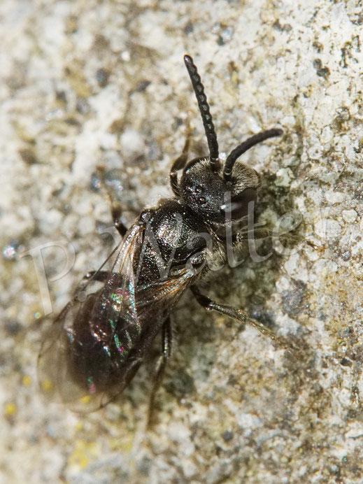 Bild: kleine Furchenbiene, Halictus spec.