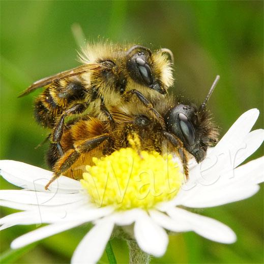 Bild: Pärchen der Rostroten Mauerbiene, Osmia bicornis, am Gänseblümchen